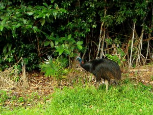 Cassowary in the rainforest