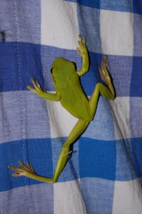 White-lipped green tree frog