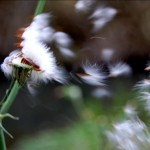 Dandelion sort of thing
