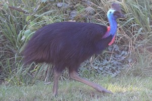 Another Cassowary