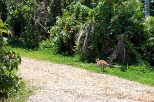 Garden Wallaby